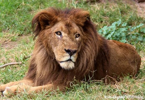 ライオン_1302