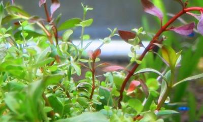 寄せ植え水草(球型大)