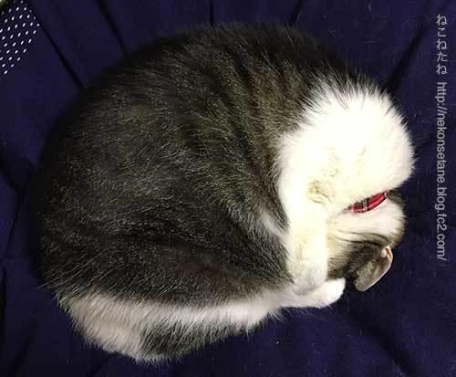 丸くなって寝ているあーく氏写真