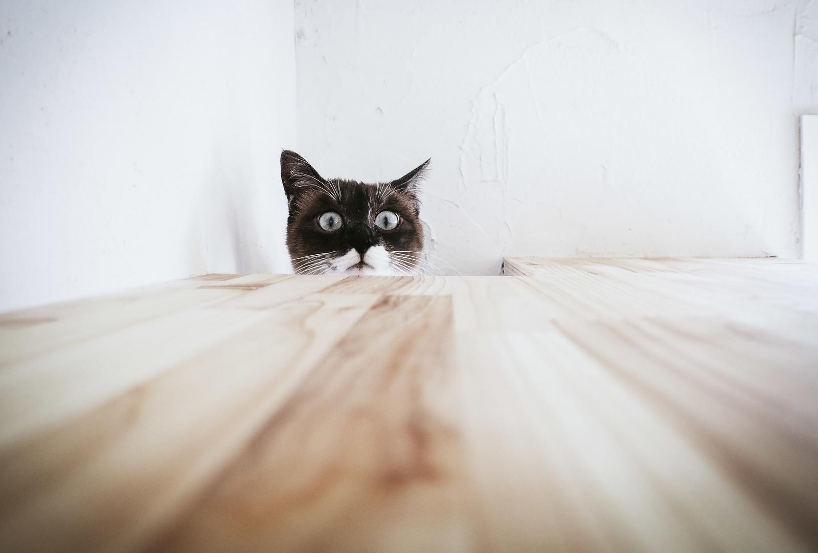 恐る恐る覗き込む猫※