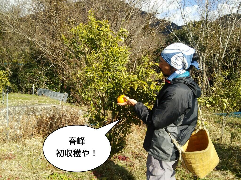 春峰初収穫や!