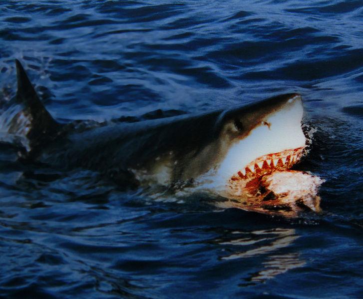 【熊野灘】三重県御浜町の阿田和沖で5メートル近い「巨大ホホジロザメ」を捕獲!