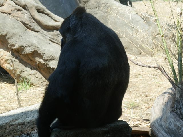 【生物】霊長類の「60%」が絶滅の危機に…人間の活動が主な原因に
