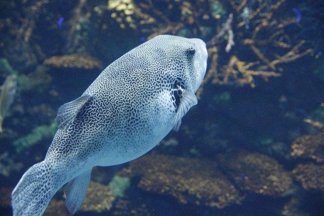 【異変】東京湾で「トラフグ」が繁殖中…1日100匹以上釣れたり、これだけ東京湾でとれるのは初めて