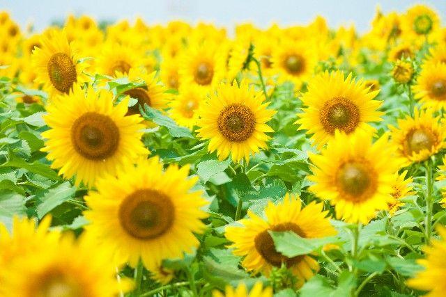 【富士山】寒いのになぜ、山梨で「ヒマワリ」が咲き誇る…担当者は「こんな一面に咲くのは初めて」