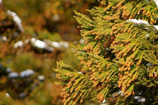 【注意】東京都内で「スギ花粉」の飛散始まる…例年と比べて5日早い