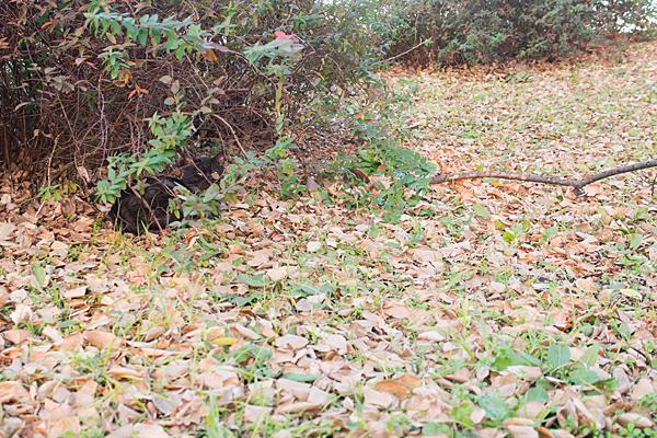 枯れ葉絨毯に黒猫