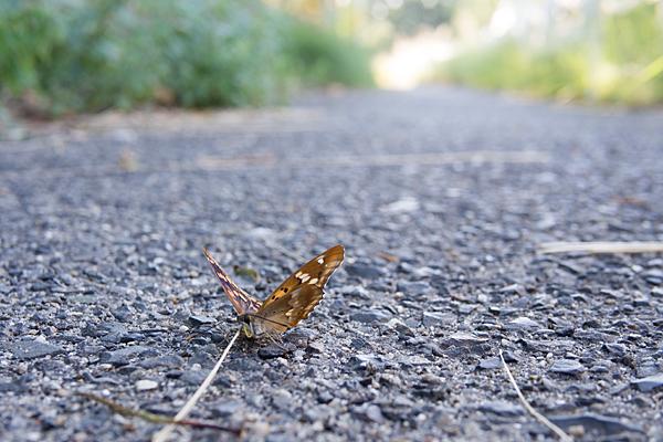 道ばたの蝶