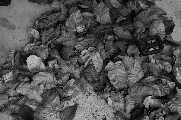 桜の枯れ葉落ち葉