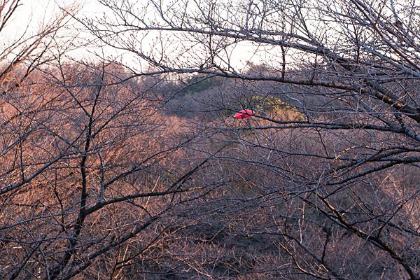 冬枯れの桜と枝に引っかかった何か