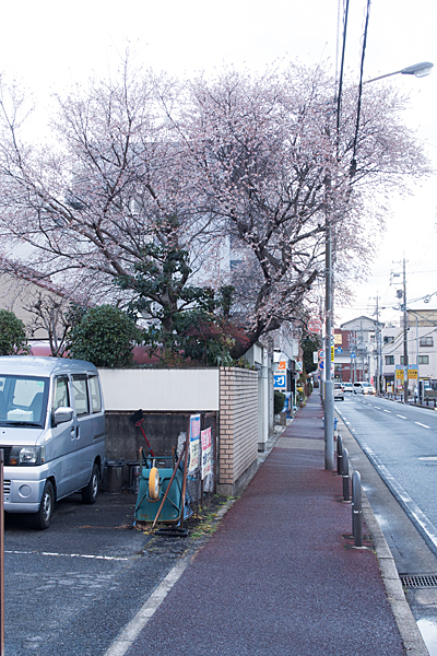 民家の庭の冬桜