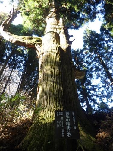天狗の腰掛け杉2