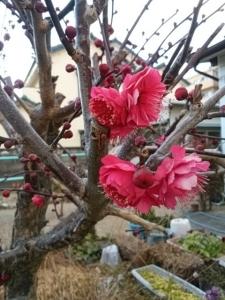 八重咲き紅梅