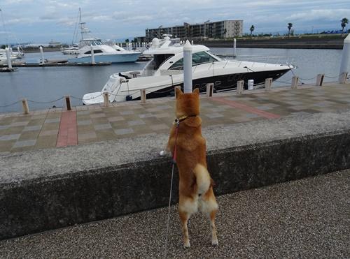 1柴犬と船