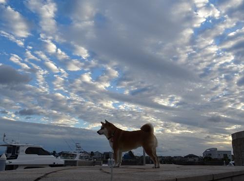 3秋の空と柴犬と