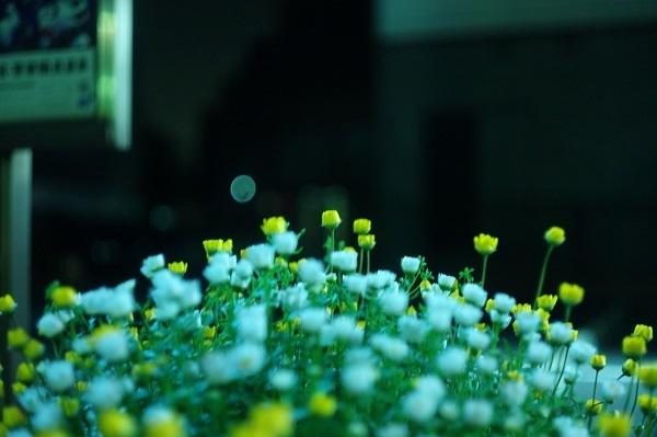フリー画像夜の花・縮小版