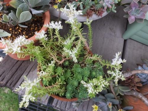 セダム・グラウコフィラム~白い花が開花中♪2016.05.17