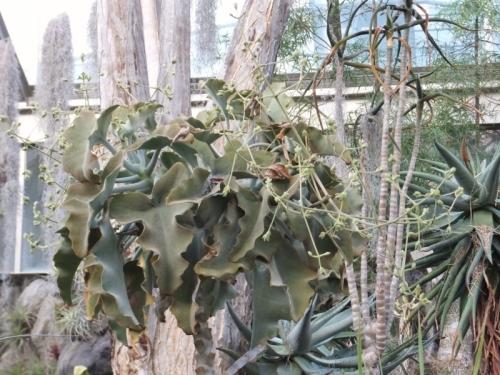 カランコエ・ベハレンシスの花芽♪「IZU・WORLD みんなのHawaiians 植物園」♪2016.12.10