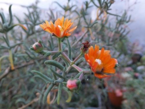 メストクレマ・ツベローサム(オレンジ花)まだまだ開花中♪2016.12.10