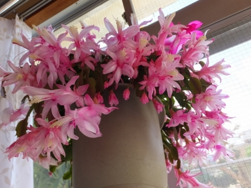 デンマークカクタス・コンペイトウ♪白の縮れがピンクに変身して開花中。2016.12.17