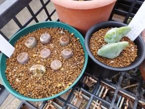 鉢底にはゼオライトを敷き、水はけ良い清潔な芝の芽土で植え変えました(^-^)2017.01.06