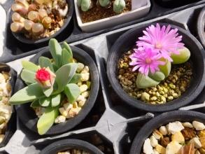 ケイリドプシス・春意玉の花は開きにくい。ギバエウム・無比玉の花は花期が長くよく開く♪2017.01.10