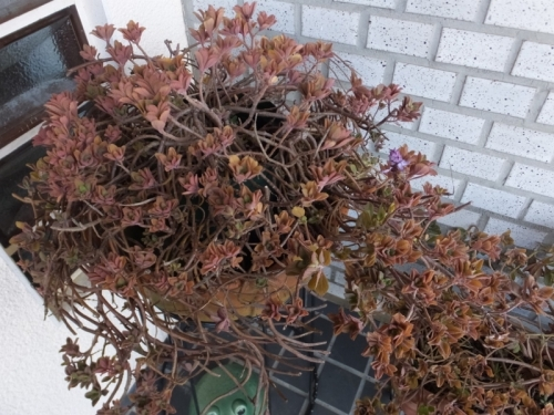 凍らなかったプレクトランサス・ネオチラス軒下断水鉢植え~2017.01.15