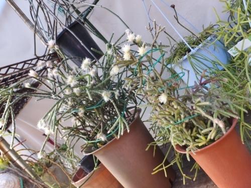 ◆リプサリス・朝の霜・髭赤葦・ピロカルパ~奥:A、手前:B、開花中~2017.01.17