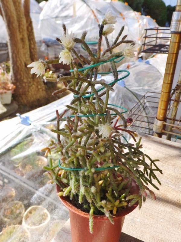 大輪芳香花がうれしい 毛生えリプサリスの下垂れ咲くお花をちゃんと見たいので 針金トルネード支柱でばっちり見えるように仕立ててみた 多肉うきうき Life