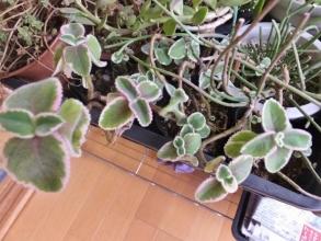 ◆プレクトランサス アンボイニクス 斑入り種 (Plectranthus amboinicus Variegatus) 2017.01.19