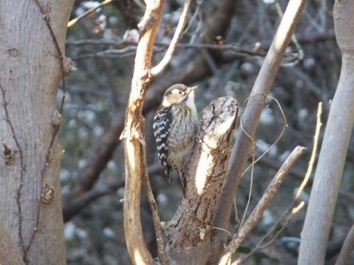 啄木鳥~コゲラちゃん♪~近所の小梅畑にて、2017.01.25