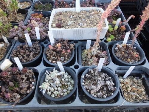 センペル・オロスタキス冬芽を各種取って挿し芽してみました♪2017.01.25