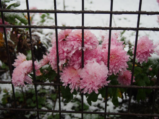 20161124・11月なのに初雪植物3・ヒャクニチソウ