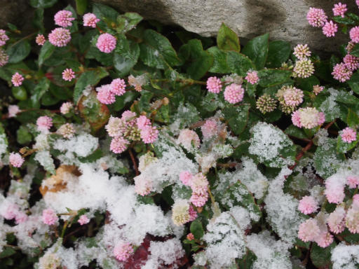 20161124・11月なのに初雪植物4・ヒメツルソバ