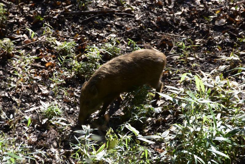 栃木県鹿沼の猪