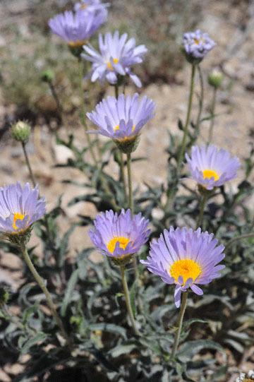 blog 9 Mojave to Death Valley, Death Valley, Desert Aster, Rd. 374 Beatty, NV_DSC1906-4.5.16.(1).jpg