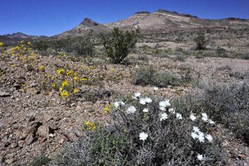 blog 9 Mojave to Death Valley, Death Valley, Yellow Evening Primrose & Desert Chicory, Rd. 374 Beatty, NV_DSC1903-4.5.16.(1).jpg