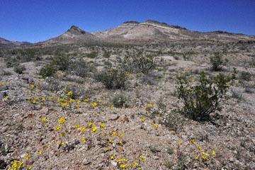 blog 9 Mojave to Death Valley, Death Valley, Yellow Evening Primrose & Pincushion, Rd. 374 Beatty, NV_DSC1905-4.5.16.(1).jpg