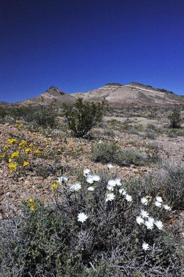 blog 9 Mojave to Death Valley, Death Valley, Yellow Evening Primrose & Desert Chicory, Rd. 374 Beatty, NV_DSC1900-4.5.16.(1).jpg