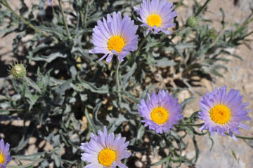 blog 9 Mojave to Death Valley, Death Valley, Desert Aster, Rd. 374 Beatty, NV_DSC1908-4.5.16.(1).jpg
